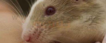 مكافحة الفئران في المنزل