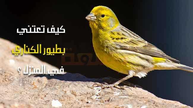 طيور الكناري ونصائح حول كيف تعتني بها في المنزل