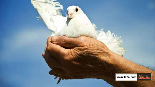 كيف تربي طيور الحمام