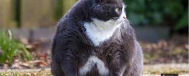 كيف تخفف وزن قطتك