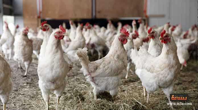 تربية الدجاج