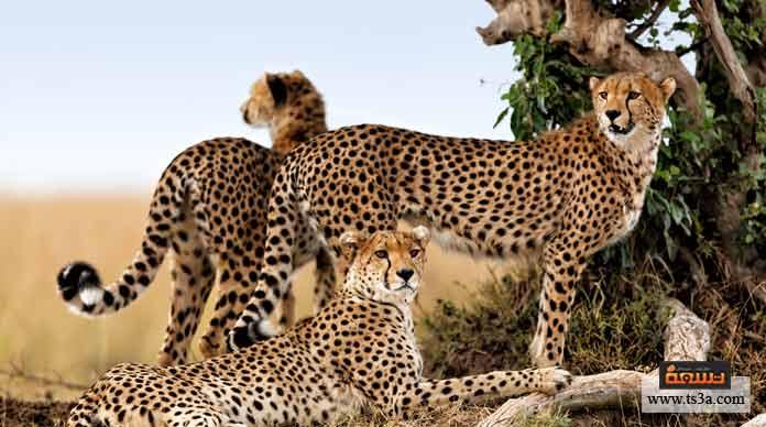 4. الفهد هو حيوان لاحم من فصيلة: