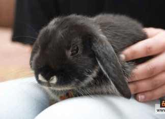 تربية الأرانب كحيوانات أليفة