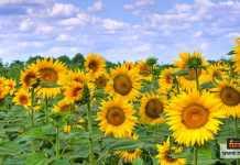 زراعة زهور دوار الشمس