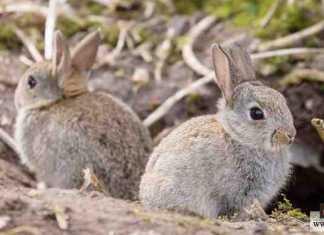 إطعام الأرانب البرية