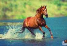 السيطرة على حصان هائج