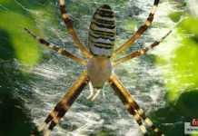 الحشرات السامة