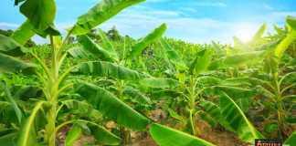 زراعة نبات الموز