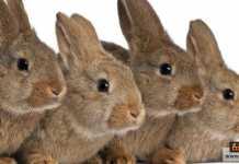 تربية الأرانب