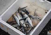 فساد الأسماك