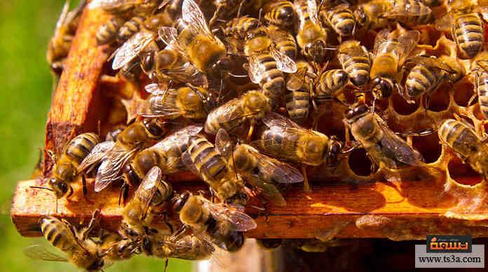 دقيق او حساس تقهقر نية حسنة على ماذا يدل وجود خلية النحل في المنزل Comertinsaat Com