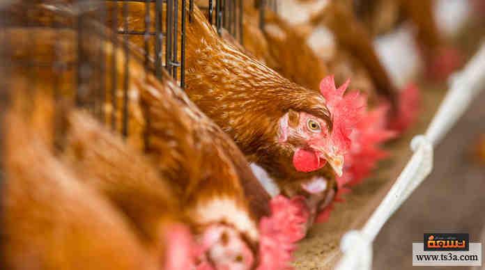 بيض الدجاج