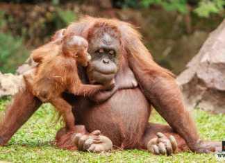 ذكاء القرود