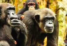 عدوانية الشمبانزي