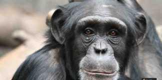 لغة القرود