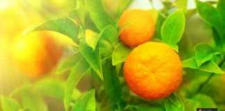 زراعة البرتقال