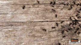 طرد النمل