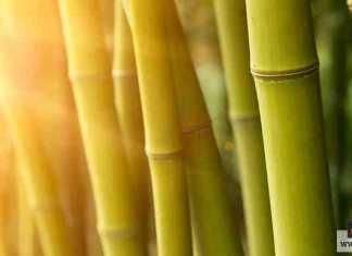 نبات البامبو