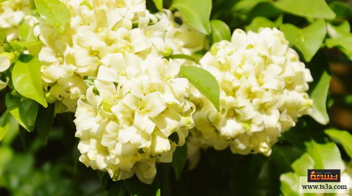 348d32131 كيف تزرع شجرة مسك الليل في حديقتك وكيف تعتني بها؟ • تسعة