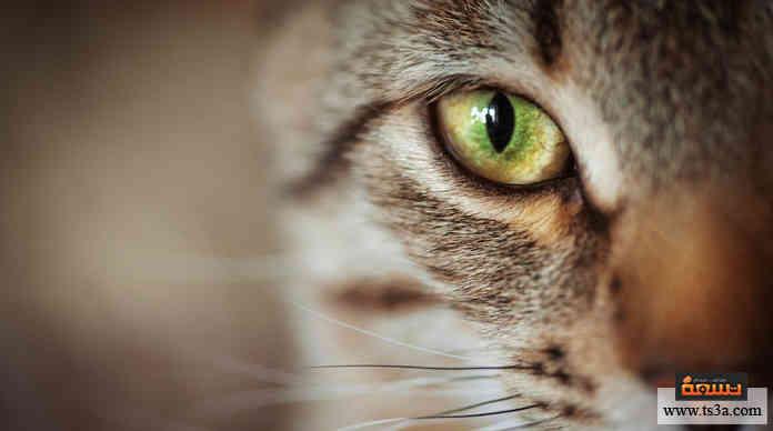عيون القطط