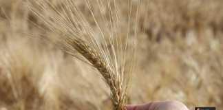 حساسية القمح