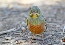 طائر الأورتولان