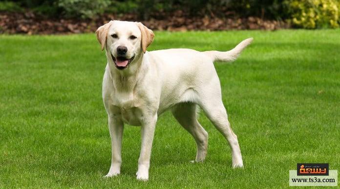 الجولدن ريتريفر مقارنة بين كلاب الجولدن ريتريفر واللابرادور ريتريفر