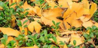 عشبة الجنكو بيلوبا