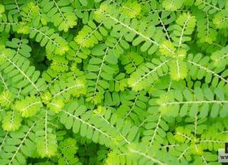 نبات الأملج
