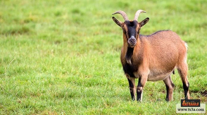 الدودة الشريطية الدودة الشريطية في أمعاء الخروف والحيوانات