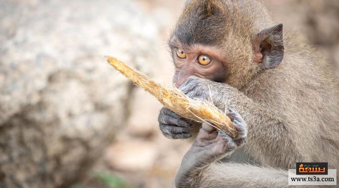 تربية القرود كيف نستفيد من تربية القرود؟