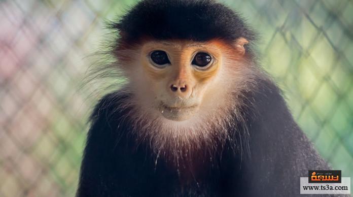 ترويض القرود كيف أربي نسناس أو قردا صغيرا؟