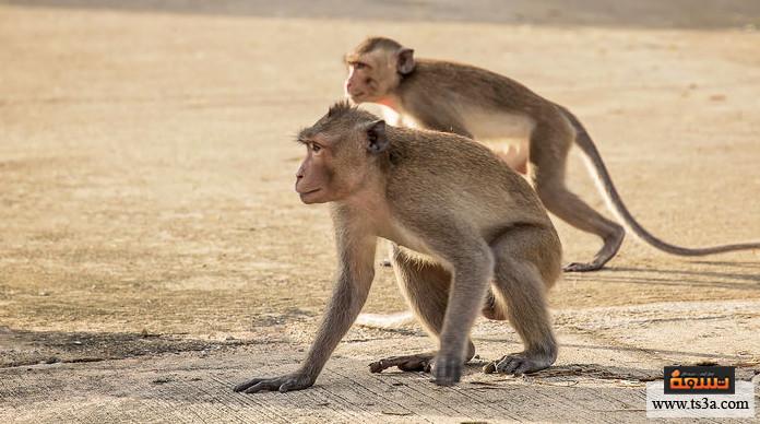 ترويض القرود ما طريقة ترويض القرود وتدريبها؟