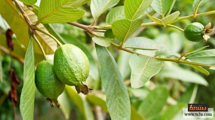 زراعة الجوافة