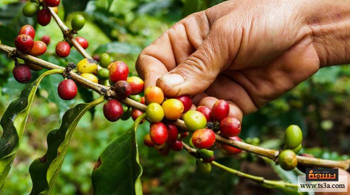 القهوة الخضراء أضرار القهوة الخضراء للحامل