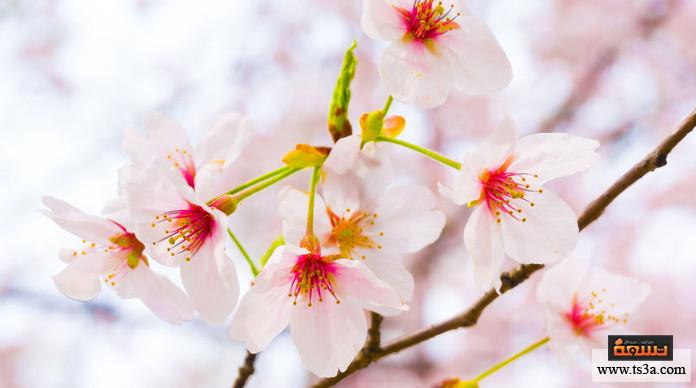 تنسيق الزهور على الطريقة اليابانية كيف نشأ فن تنسيق الزهور على الطريقة اليابانية؟