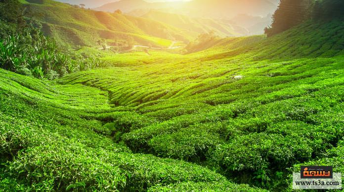 مشروب الشاي اقتصاد الشاي