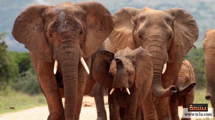 خرطوم الفيل الأماكن التي تعيش فيها الفيلة