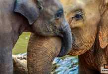 خرطوم الفيل