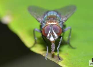 ذبابة التسي تسي