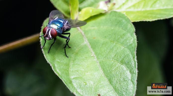 يرقة الذباب يرقة الذبابة الزرقاء