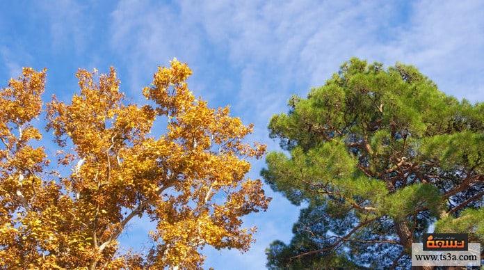 الجميز شجرة الجميز في الكتاب المقدس