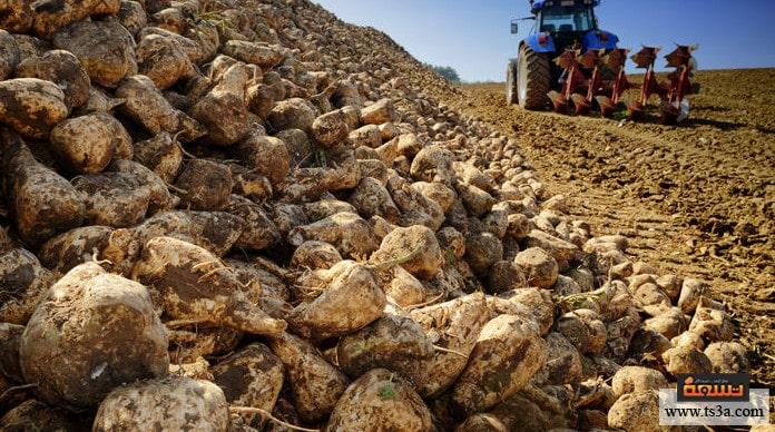 زراعة البنجر أمراض بنجر السكر