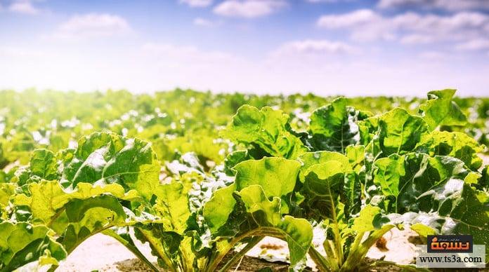 زراعة البنجر فوائد أخرى للبنجر