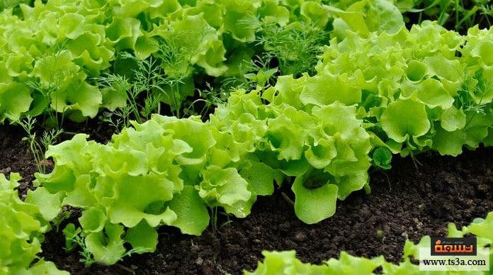 زراعة الخس إنبات بذور الخس
