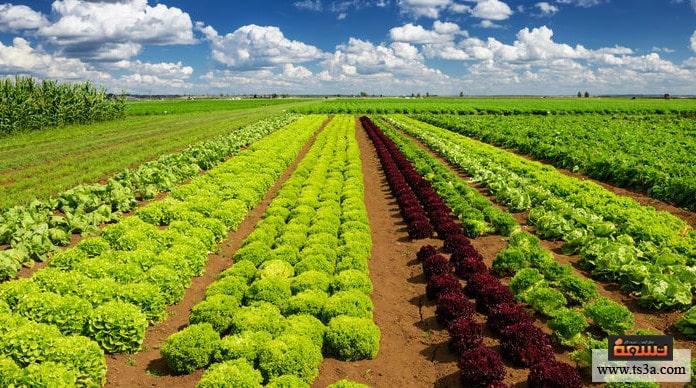 زراعة الخس نبذة عن نبات الخس