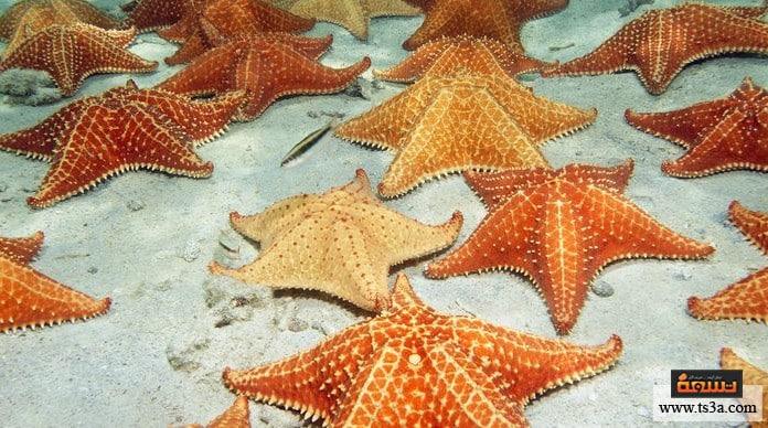 نجم البحر نجم البحر من أي فصيلة؟