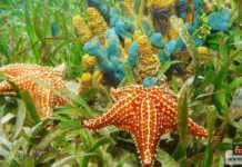 نجم البحر