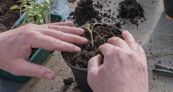 زراعة البذور او الشتلات